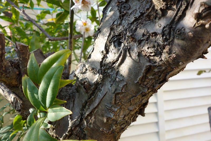 梅の花と桜は似ているからこそ、見分け方をわかる人になればモテるという妄想と雑学13