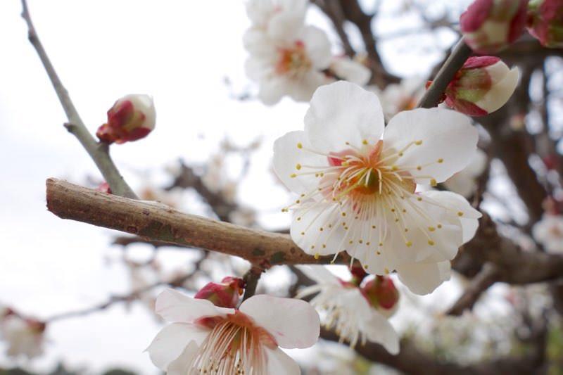梅の花と桜は似ているからこそ、見分け方をわかる人になればモテるという妄想と雑学04