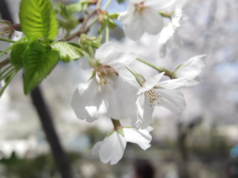 梅の花と桜は似ているからこそ、見分け方をわかる人になればモテるという妄想と雑学07