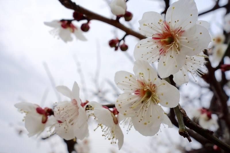 梅の花と桜は似ているからこそ、見分け方をわかる人になればモテるという妄想と雑学08