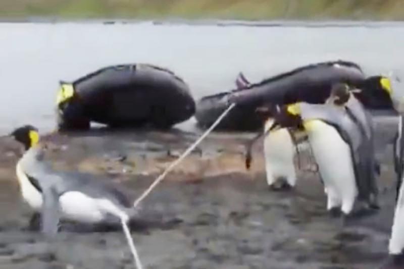 【動画】可愛そうだけど笑っちゃう!ペンギンの癒やし縄跳び!?07