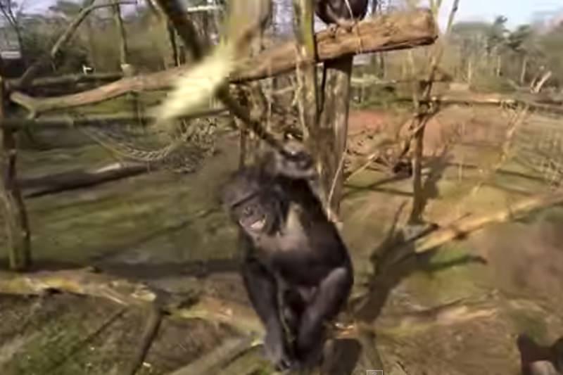 【動画】ドローンを振り落とすうチンパンジーが話題03