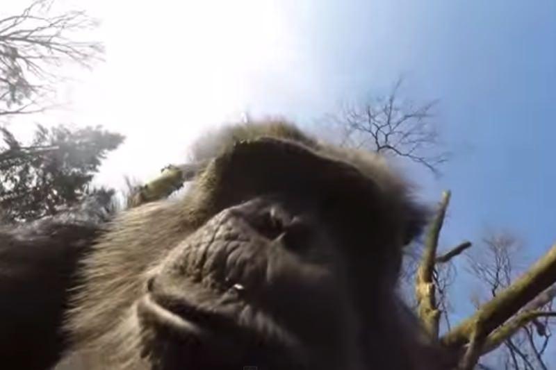 【動画】ドローンを振り落とすうチンパンジーが話題07