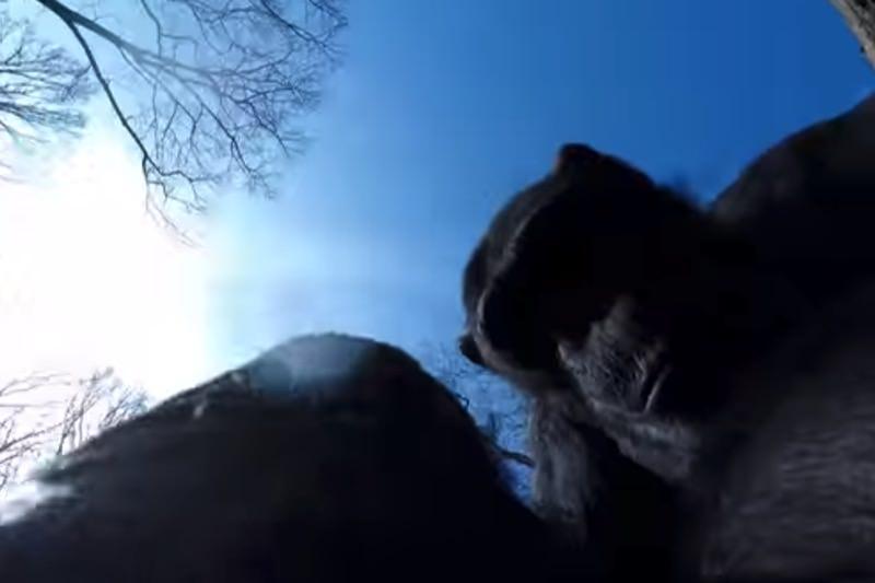 【動画】ドローンを振り落とすうチンパンジーが話題08
