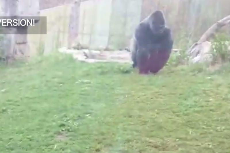 【動画】これは怖い!ゴリラの体当たりアタックでガラスにひび割れ!03