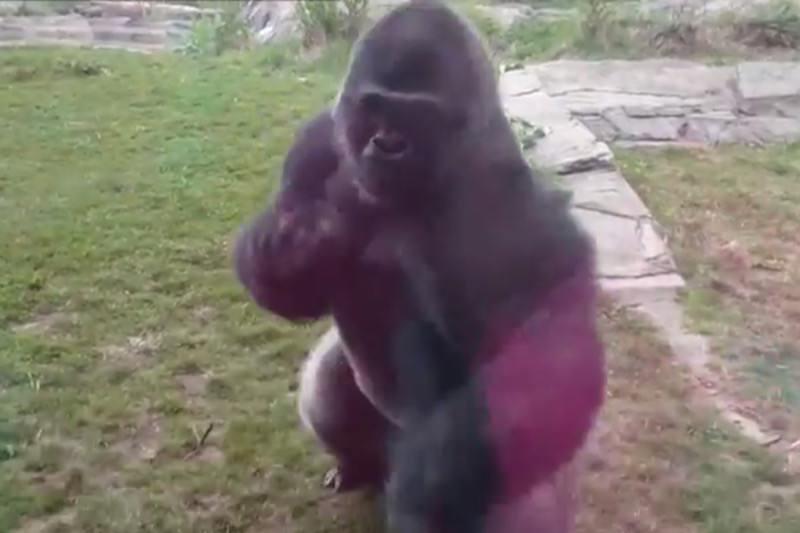 【動画】これは怖い!ゴリラの体当たりアタックでガラスにひび割れ!05
